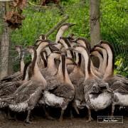 Oies de Guinée